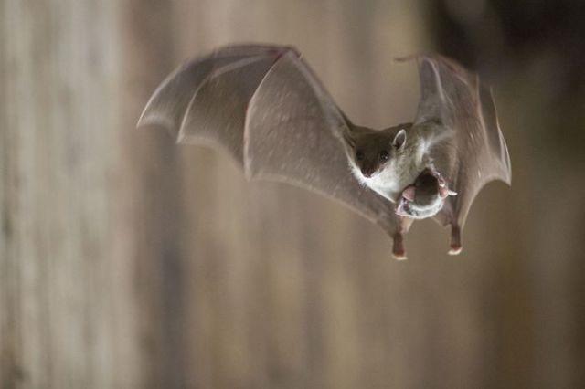 fotos viajantes morcego[8]
